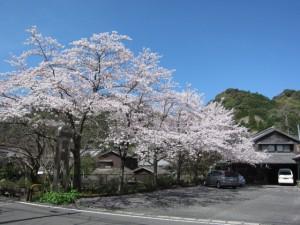 事務所桜1